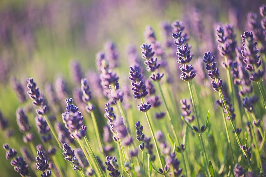 Lavendel in der Kosmetik: Tipps von einer Lavendelmanufaktur aus dem Waldviertel